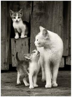 falusi cica-kép