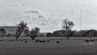 Sheep and birds