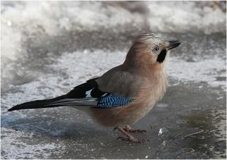Szajkó (Mátyás madár)