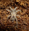 "Spider ""neonate"""