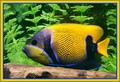 Blue -girdled angel fish....