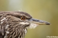 Night Heron Close-Up