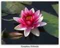 Nymphaea Hollandia